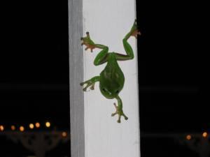 Common green tree frog